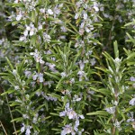 Rosemary_bushes