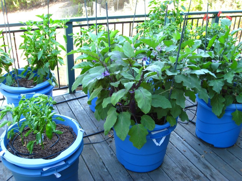 Growing Vegetables in Containers » IzReaL